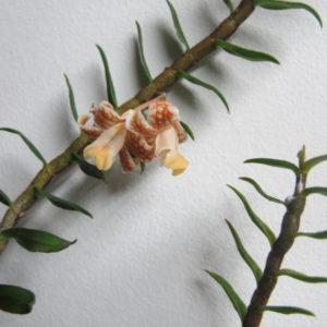 Dendrobium neomorale blooms