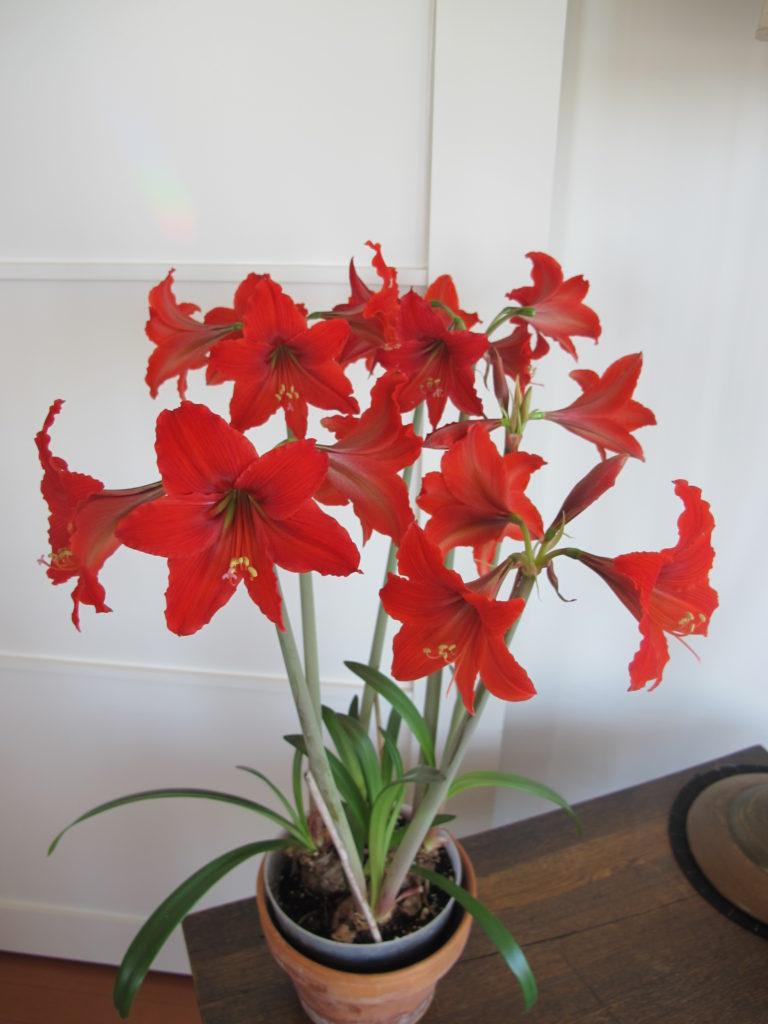 Amaryllis Scarlet Baby