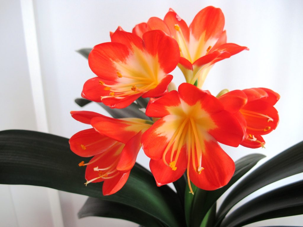 Chinese clivia--flower close-up
